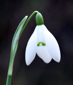 snowdrop-flower-picture-6